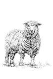 Les moutons Image libre de droits