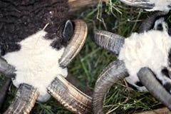 Les moutons avec la race de Jacob de quatre klaxons photos libres de droits