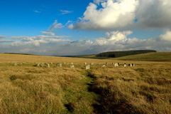 Les moutons castrés gris, parc national Devon de Dartmoor Photo stock