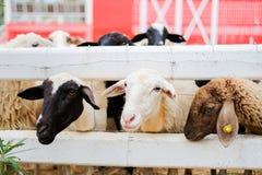 Les moutons dans la barrière blanche chez Suan Phueng recourent Image libre de droits