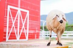 Les moutons dans la ferme avec le bâtiment rouge chez Suan Phueng recourent Photographie stock
