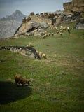 Moutons dedans aux ruines Photos libres de droits