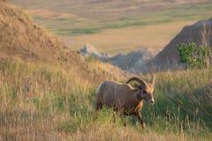 Les moutons de Big Horn marchent dans le deadow Image libre de droits