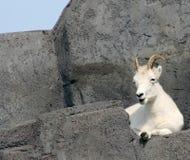 Les moutons de Dall image stock