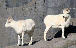 Les moutons de Dall images stock