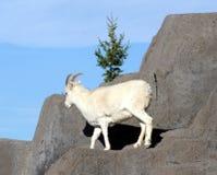 Les moutons de Dall image libre de droits