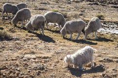 Les moutons de Merino et les chèvres d'angora vivent en troupe l'alimentation dedans le Drakensberg, Lesotho Image stock