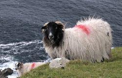 Les moutons de montagne de visage noir Image stock