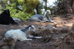 Les moutons de montagne se trouvant sur les roches dans la forêt Image stock