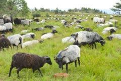 Les moutons de Moorland sur la haute amarrent le pré, forêt noire, Allemagne Photographie stock