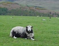 Les moutons de sourire détendent Image libre de droits