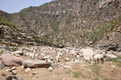 Les moutons de Wali de vallée frôlent tranquillement Images libres de droits