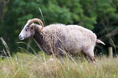 Les moutons du Gotland Image stock