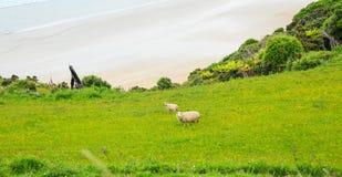 Les moutons et l'agneau vivent paisiblement dans le domaine naturel de pré d'herbe verte du Nouvelle-Zélande près de la plage de  Images libres de droits