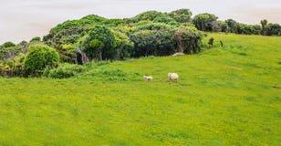 Les moutons et l'agneau vivent paisiblement dans le domaine naturel de pré d'herbe verte du Nouvelle-Zélande près de la plage de  Image stock