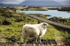 Les moutons et le vatn de ½ de MÃ Photographie stock libre de droits