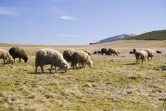 Les moutons frôlent à la montagne photos libres de droits