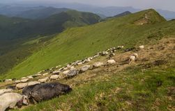 Les moutons frôlent dans les montagnes carpathiennes Marmaros l'ukraine photographie stock
