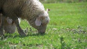 Les moutons frôlant et mangent l'herbe sur le pré Promenade d'animaux sur le champ Mouvement lent clips vidéos