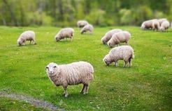 Les moutons frôlent photographie stock