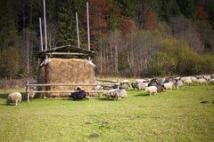 Les moutons frôlent dans le pré Photographie stock