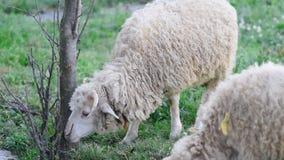 Les moutons fr?lent dans le pr? Les moutons marchent sur l'herbe Une RAM mangeant l'herbe sur un roussissement Les moutons fr?len banque de vidéos