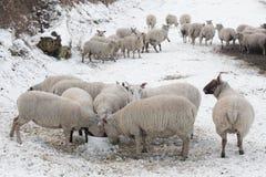 Les moutons mangeant dans la neige ont couvert l'horizontal Photo stock