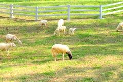 Les moutons mangeant le verre sur le plancher chez les moutons cultivent images libres de droits