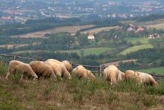 Les moutons mangent l'herbe Photographie stock libre de droits