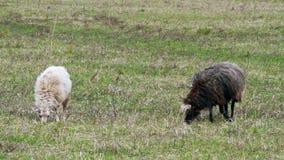 Les moutons mangent l'herbe. La première herbe de ressort clips vidéos