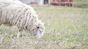 Les moutons mangent l'herbe. La première herbe de ressort banque de vidéos