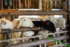 Les moutons mangeront l'herbe à la ferme de vintage de paysage Photo libre de droits