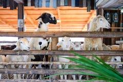 Les moutons mangeront l'herbe à la ferme de vintage de paysage Images stock