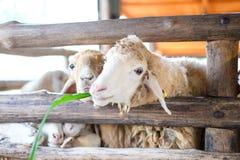 Les moutons mangeront l'herbe à la ferme de vintage de paysage Photographie stock libre de droits