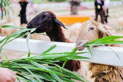 Les moutons mangeront l'herbe à la station de vacances de Suan Phueng Photo libre de droits