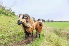 Les moutons masculins et femelles du Cameroun dans les pâturages aménagent en parc photographie stock libre de droits