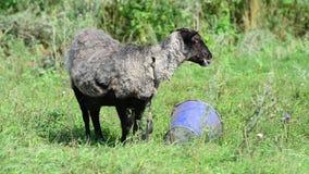 Les moutons noirs respirent souvent de la chaleur en été banque de vidéos