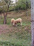 Les moutons ont faim photos stock