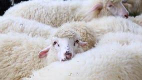 Les moutons pelucheux mignons frôlent dans le pré Grand troupeau ou troupeau de moutons sur la station ou le ranch d'intérieur banque de vidéos