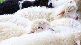 Les moutons pelucheux mignons frôlent dans le pré un jour ensoleillé grand troupeau ou troupeau de moutons sur la station ou le r banque de vidéos
