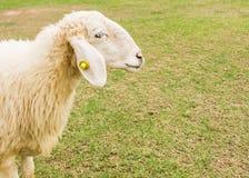 Les moutons regardent en avant Image libre de droits