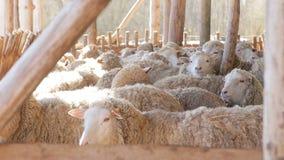 Les moutons s'assemblent dans la lumière du soleil à la ferme d'eco - agnelez les produits carnés organiques banque de vidéos