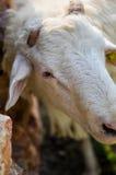 Les moutons se ferment vers le haut Image libre de droits
