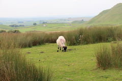 Les moutons solitaires sur Yorkshire amarrent photo libre de droits