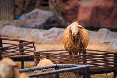 Les moutons sont à une ferme de moutons chez le Forest Park image libre de droits