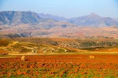 Les moutons sur une culture mettent en place avec des montagnes à l'arrière-plan Lesotho Photos libres de droits
