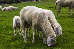 Les moutons tyroliens frôlent sur les prés alpins sur l'herbe verte Images stock