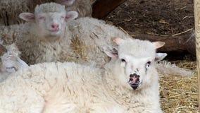 Les moutons vivent en troupe le foin de mastication se trouvant sur l'herbe sèche dans le parc à moutons, RAM de jeunes dormant d clips vidéos