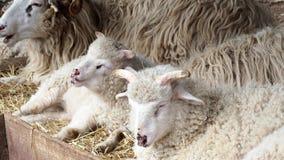 Les moutons vivent en troupe le foin de mastication se trouvant sur l'herbe sèche dans le parc à moutons, RAM de jeunes dormant d banque de vidéos