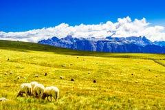 Les moutons vivent en troupe sur un pré dans les montagnes du Tyrol du sud photographie stock libre de droits